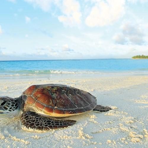 52324825-H1-Marine_Turtle